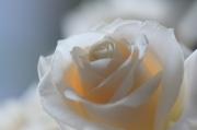 rosesblanche1.jpg
