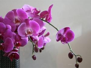 feerie-d-orchidees-helen_003